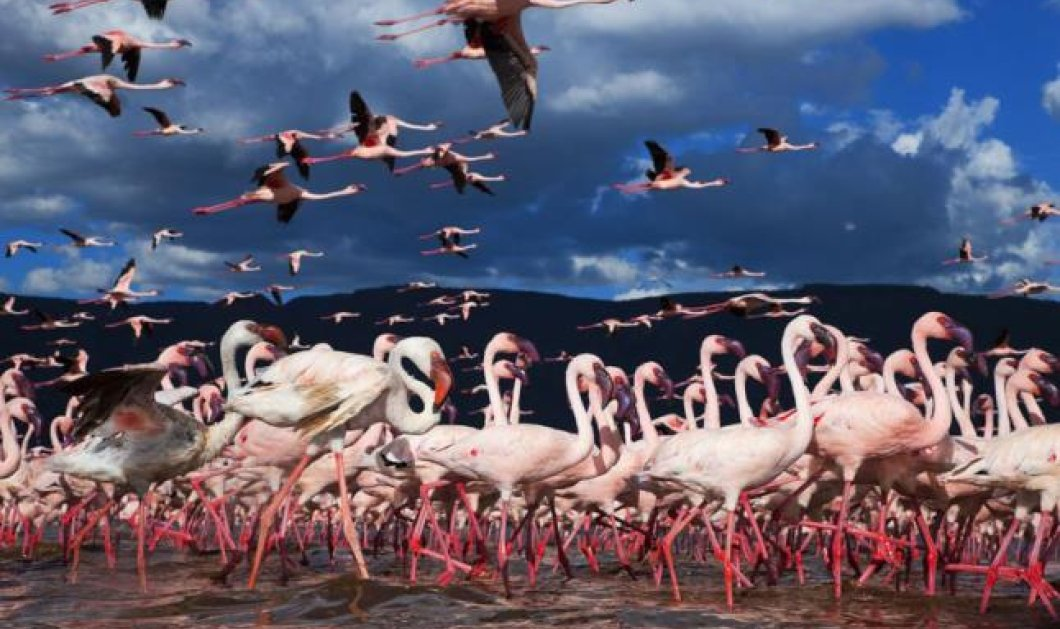 Φωτογραφία της ημέρας: Τα χιλιάδες φλαμίγκος ταξιδεύουν και «χρωματίζουν» ροζ μια λίμνη στην Κένυα - Κυρίως Φωτογραφία - Gallery - Video