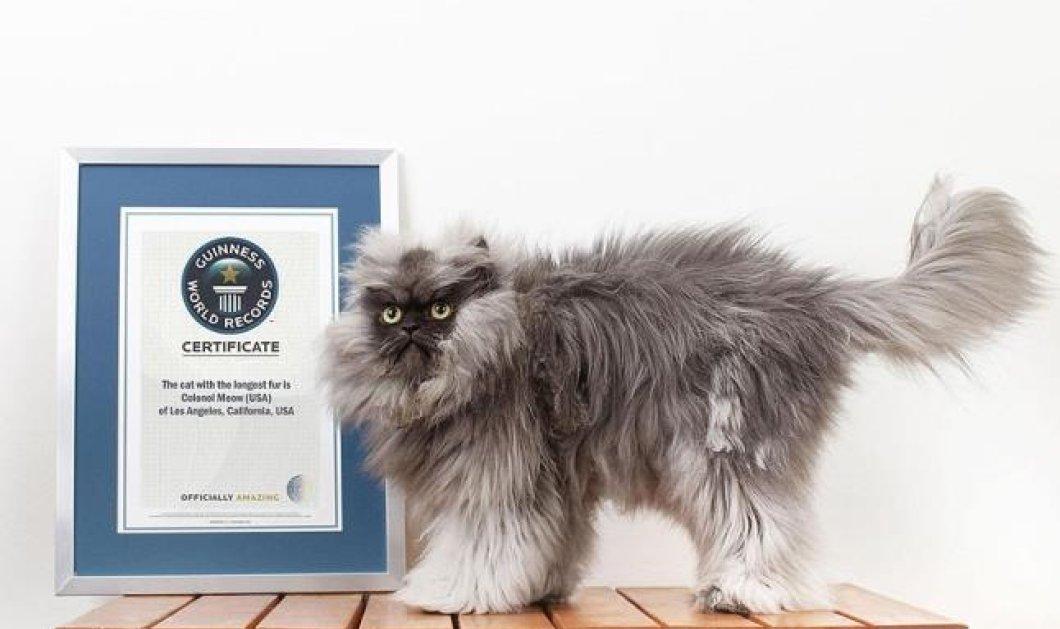 Ο «συνταγματάρχης Μιάου» είναι ο γάτος με το πυκνότερο τρίχωμα στον κόσμο και «τιμάται» με ρεκόρ Γκίνες !  - Κυρίως Φωτογραφία - Gallery - Video