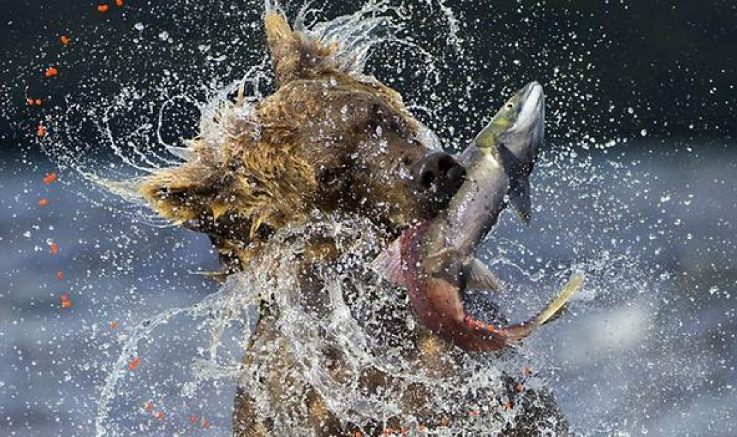 Φωτογραφία της ημέρας: η καφέ αρκούδα που αρπάζει «στον αέρα» έναν σολομό! - Κυρίως Φωτογραφία - Gallery - Video