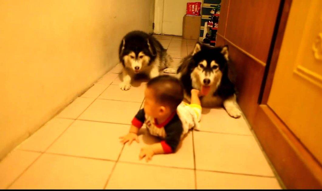 Τι γλυκό βίντεο: δύο λυκόσκυλα μιμούνται ένα μωράκι που μπουσουλάει!  - Κυρίως Φωτογραφία - Gallery - Video