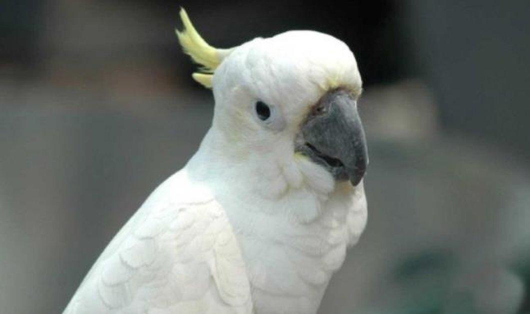 Αυτός ο παπαγάλος δεν υπάρχει - Δείτε τον πανέμορφο Κούκι να τραγουδάει... Ρουβά και να παίζει με το αφεντικό του! (βίντεο) - Κυρίως Φωτογραφία - Gallery - Video