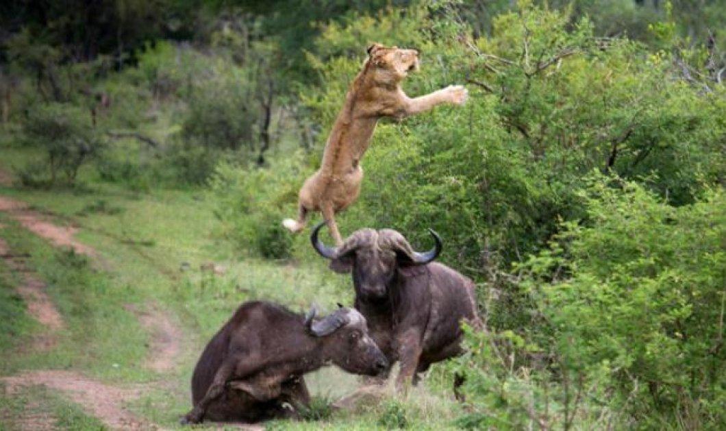 Βουβάλια Vs Λιονταριών, σημειώσατε 1! Δείτε βουβάλια να εκτοξεύουν λιοντάρι στον αέρα σε ύψος 5 μέτρων! (βίντεο & φωτογραφίες) - Κυρίως Φωτογραφία - Gallery - Video
