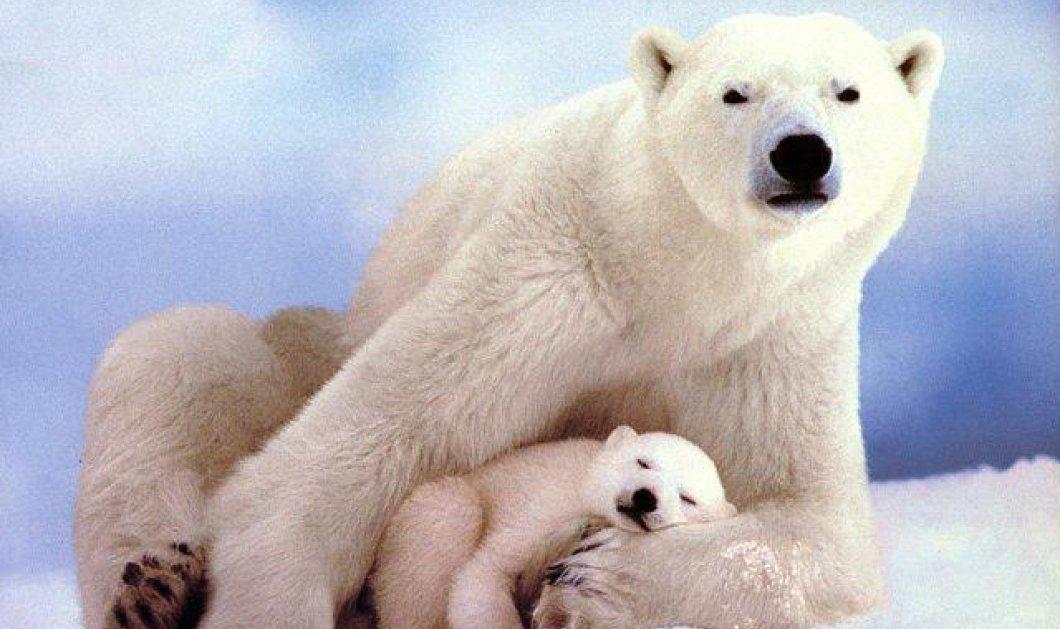 Πανέμορφο βίντεο - Απολαύστε την πιο γλυκιά οικογένεια πολικής αρκούδας που έχετε δει ποτέ! (βίντεο) - Κυρίως Φωτογραφία - Gallery - Video