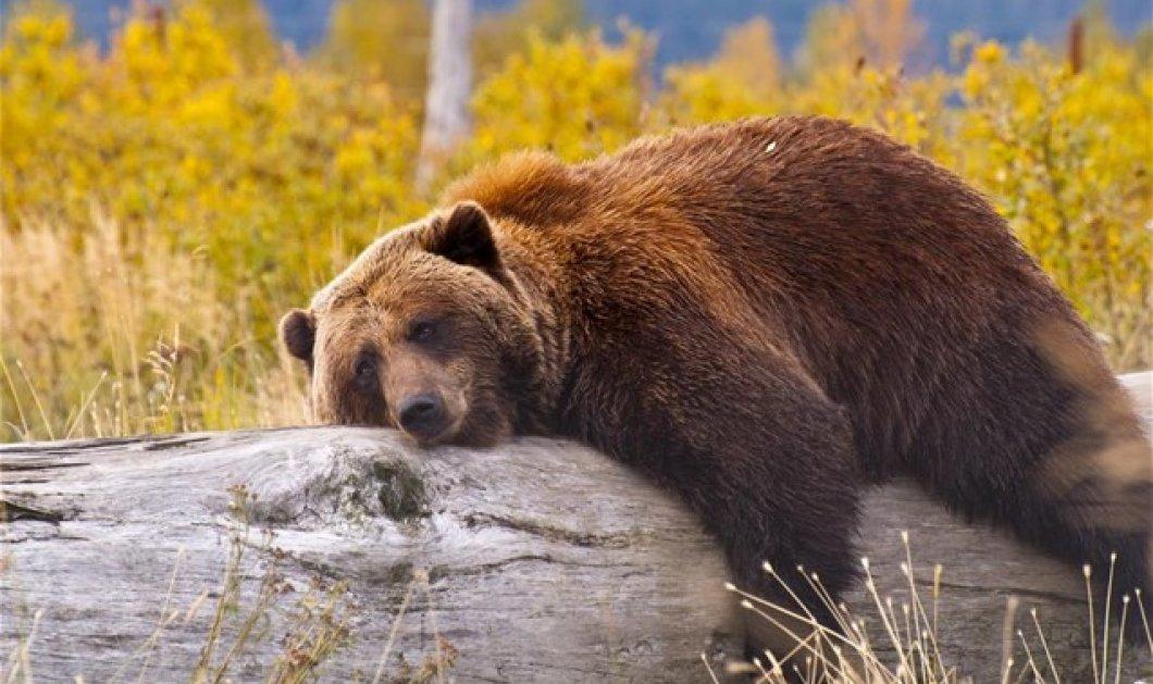 Η «πολική δίνη» με τους πολλούς «μείον» στην Αμερική ξύπνησε αρκούδες στη... Σκανδιναβία! - Κυρίως Φωτογραφία - Gallery - Video