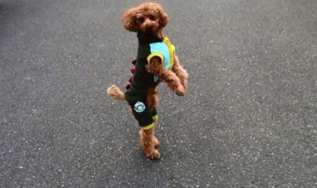 Το σκυλάκι που τρέχει… στα «δύο», σαν άνθρωπος! Δείτε το βίντεο: - Κυρίως Φωτογραφία - Gallery - Video