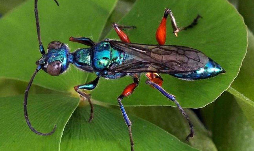 Ύπουλη σφήκα απολυμαίνει τις κατσαρίδες πριν τις φάει από μέσα - Κυρίως Φωτογραφία - Gallery - Video