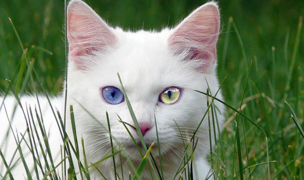 Αυτές οι γάτες είναι εκπληκτικές: έχουν διαφορετικό χρώμα σε κάθε μάτι τους! (φωτό) - Κυρίως Φωτογραφία - Gallery - Video