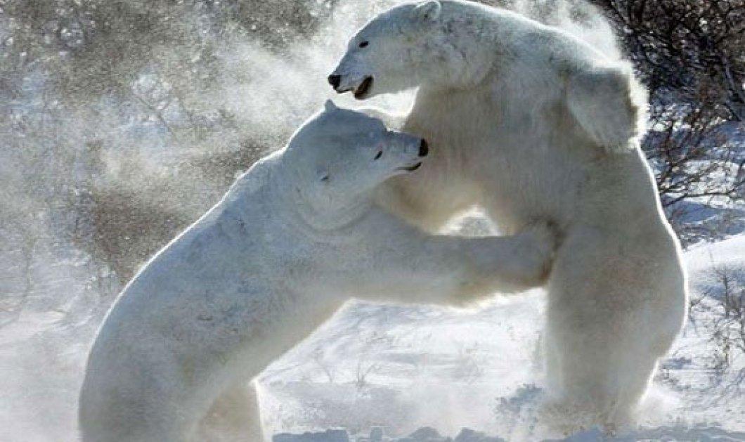 Η φωτογραφία της ημέρας: Πολικές Αρκούδες - Κυρίως Φωτογραφία - Gallery - Video