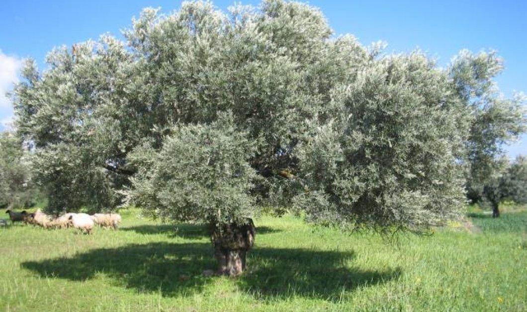 Τα αρχαία ελαιόδεντρα της Κρήτης κάνουν τον γύρο του κόσμου... - Κυρίως Φωτογραφία - Gallery - Video
