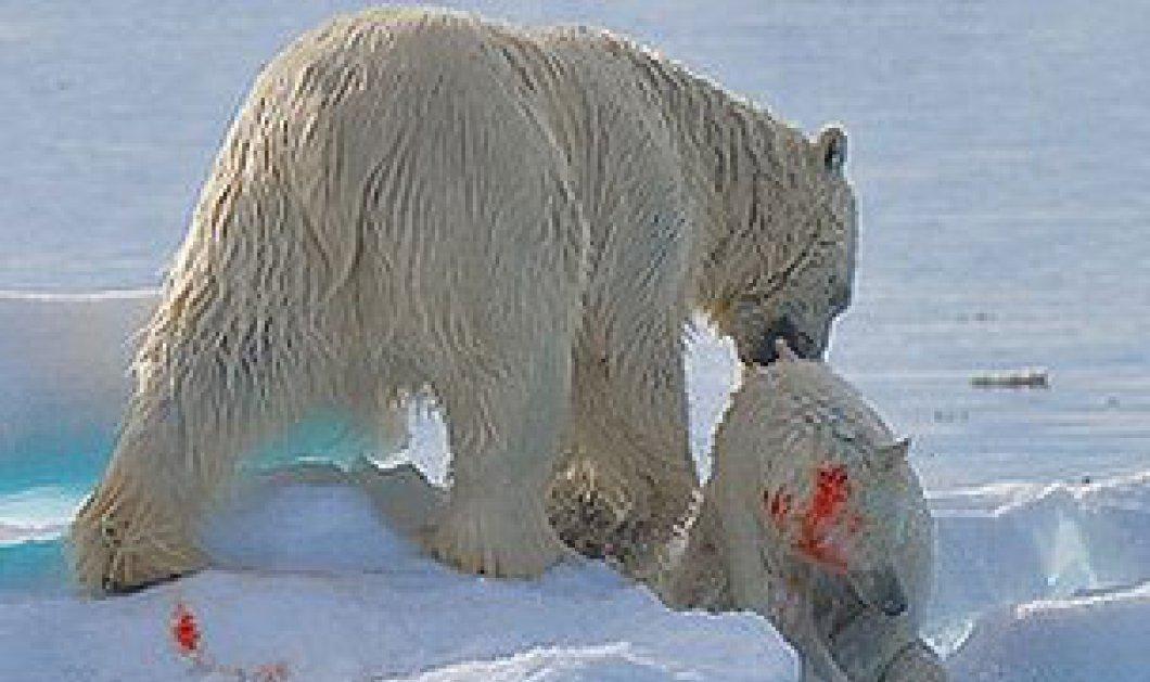 Η Μεγάλη αρκούδα... τρώει τη μικρή! Δείτε τη φωτογραφία - Κυρίως Φωτογραφία - Gallery - Video