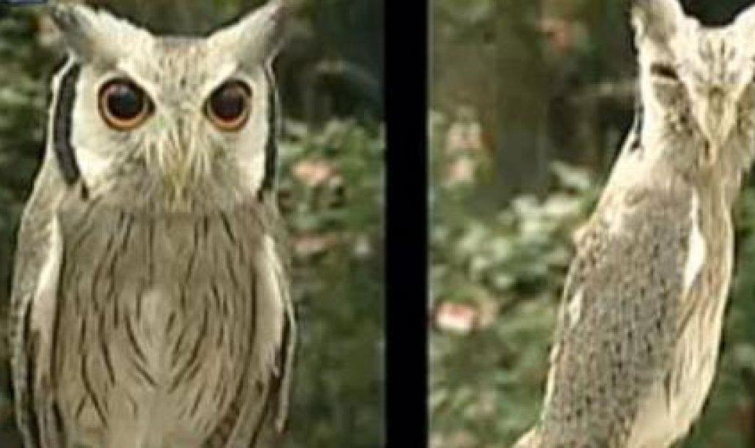 Δείτε την εντυπωσιακή μεταμόρφωση μιας κουκουβάγιας!! - Κυρίως Φωτογραφία - Gallery - Video
