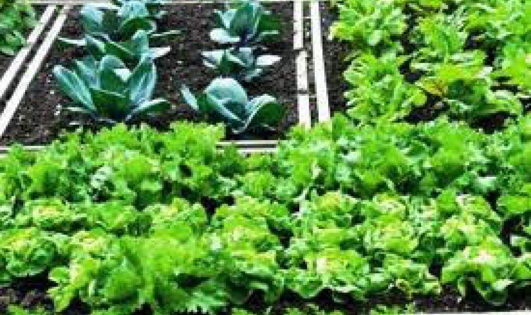Οι Λαχανόκηποι των Θεσσαλονικιών στο Αριστοτέλειο Πανεπιστήμιο τους ''έδωσαν'' τους πρώτους καρπούς  - Κυρίως Φωτογραφία - Gallery - Video
