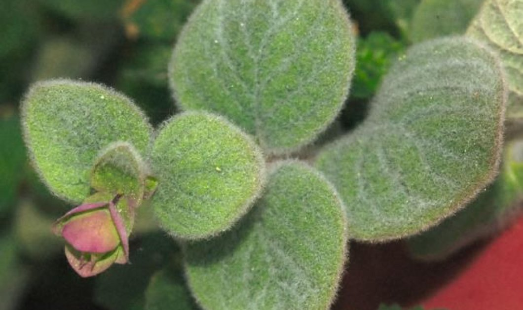Έρωντας, ένα θαυματουργό βότανο της Κρήτης - Κυρίως Φωτογραφία - Gallery - Video