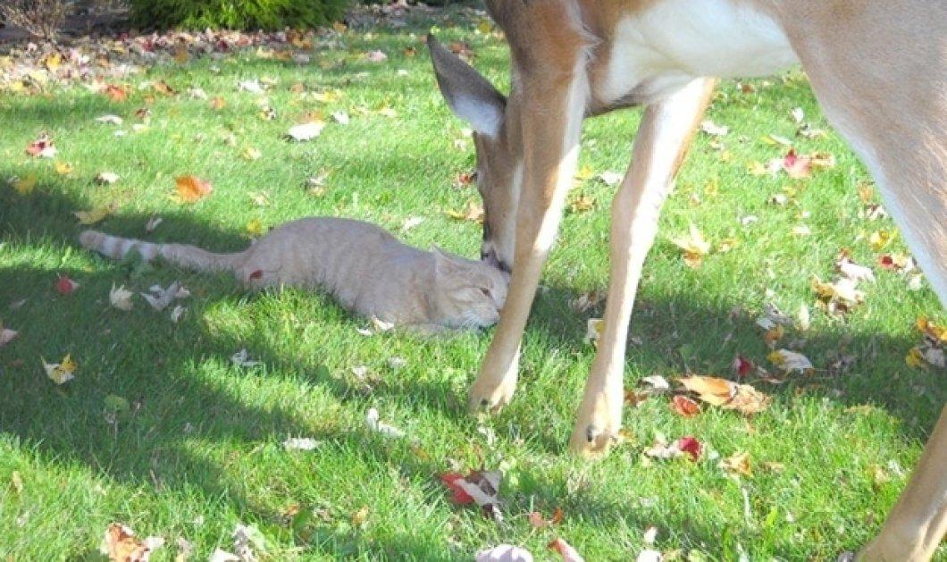 Αν ξυπνήσατε κάπως Δευτεριάτικα, δείτε αυτό το ελάφι που καλημερίζεται με την φίλη του την γάτα, τρίβοντας ο ένας την άλλη και κουτσομπολεύοντας τα αφεντικά τους ... (φωτό)!  - Κυρίως Φωτογραφία - Gallery - Video