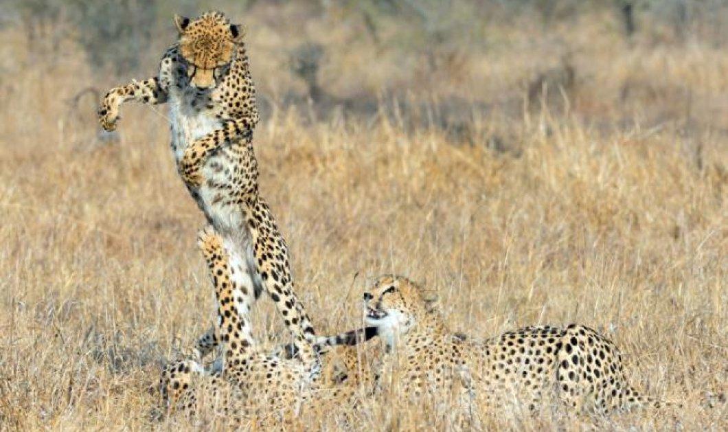 Δύο φωτό ημέρας σήμερα που θα σας καταπλήξουν: Δύο παπιά μα τι παπιά και δύο τίγρεις... θεές της ζούγκλας! (φωτό) - Κυρίως Φωτογραφία - Gallery - Video