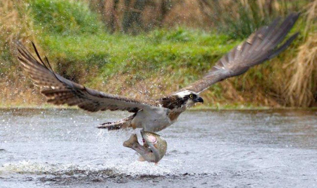 Φωτό ημέρας: Ένα σπάνιας ομορφιάς γεράκι αρπάζει σε κλάσματα του δευτερολέπτου τη λεία του από το ποτάμι, σχίζοντας τα ύδατα! Ε Κ Π Λ Η Κ Τ Ι Κ Ο! - Κυρίως Φωτογραφία - Gallery - Video