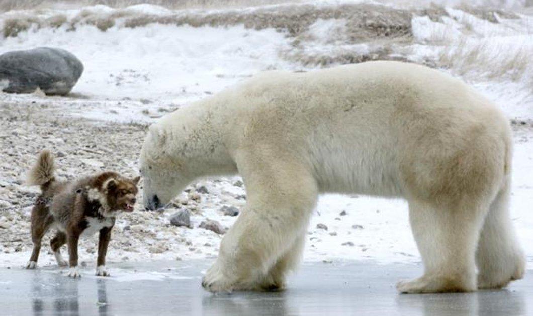Φωτό ημέρας: Όταν το χάσκι συνάντησε την πολική αρκούδα και την κοίταξε στα μάτια! - Κυρίως Φωτογραφία - Gallery - Video