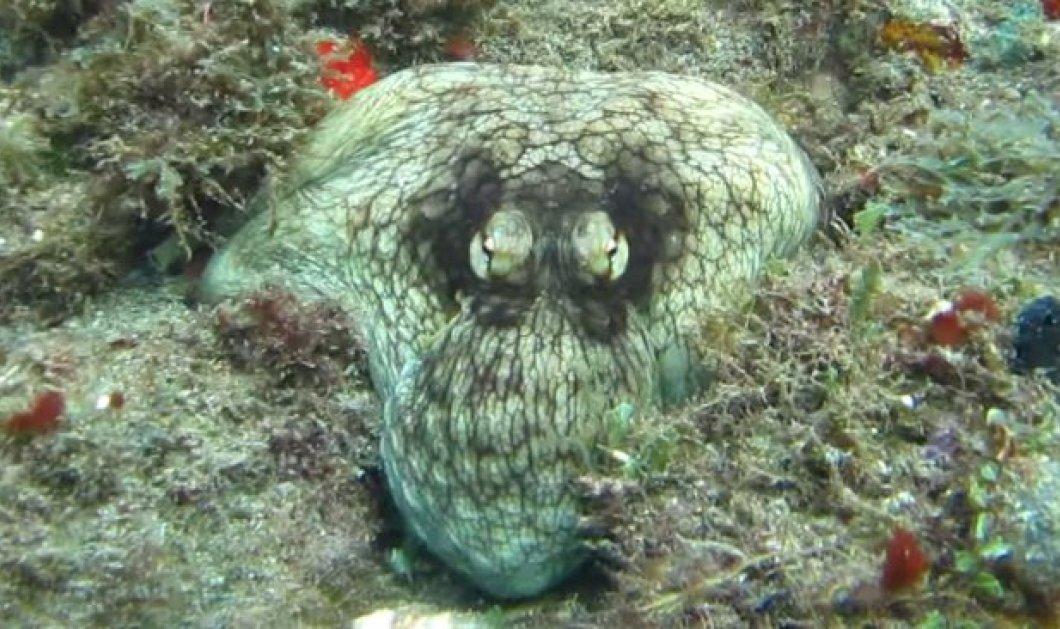 Εκπληκτικό βίντεο: Χταπόδι καμουφλάρεται στην θάλασσα & εντυπωσιάζει - Κυρίως Φωτογραφία - Gallery - Video