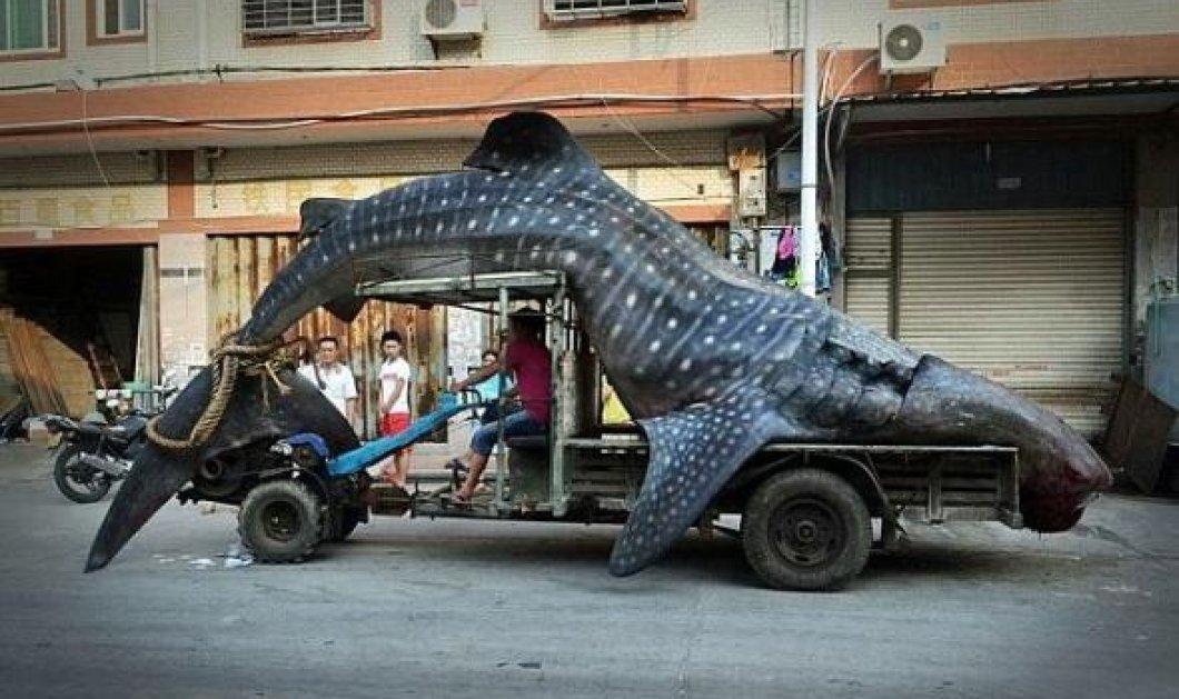 Θαλάσσιο τέρας 12 μέτρων στην καρδιά της αγοράς - Δείτε τον τεράστιο φαλαινοκαρχαρία - Κυρίως Φωτογραφία - Gallery - Video