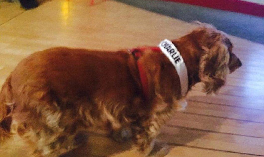 Pet of the Day η Λίλα, το κόκερ που επιβίωσε από την το μακελειό στο Charlie Hebdo & έγινε η μασκότ του γραφείου! (Φωτό) - Κυρίως Φωτογραφία - Gallery - Video