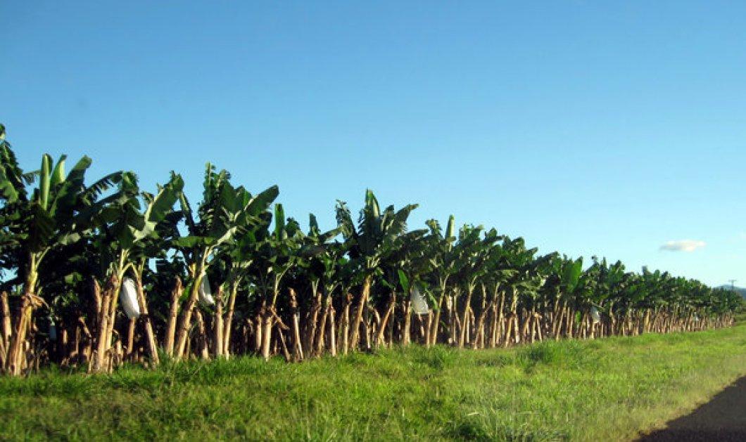 Bloomberg: Μύκητας τέρας απειλεί να εξαφανίσει όλες τις μπανάνες του κόσμου - Κυρίως Φωτογραφία - Gallery - Video
