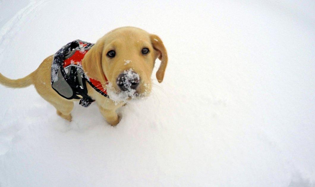 Γνωρίστε τον Jake: Το κουτάβι που εκπαιδεύεται για να σώζει ζωές στα χιόνια! - Κυρίως Φωτογραφία - Gallery - Video