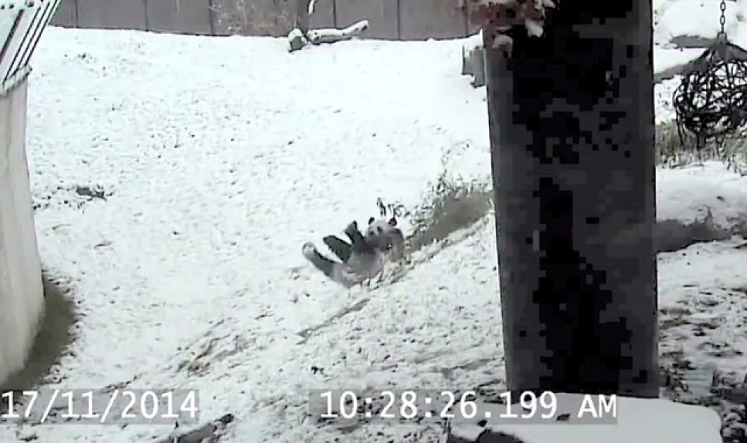 Η στιγμή της χαλάρωσης σας με αυτό το βίντεο: Ένα γλυκούτσικο μωρό panda παίζει στο χιόνι! - Κυρίως Φωτογραφία - Gallery - Video