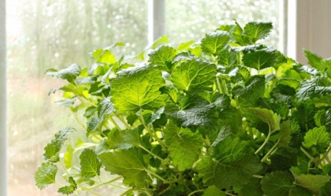 Λεβάντα, βασιλικός & λουίζα: Αυτά είναι τα φυτά που διώχνουν τα κουνούπια για να... εξοπλίσετε το μπαλκόνι σας! - Κυρίως Φωτογραφία - Gallery - Video