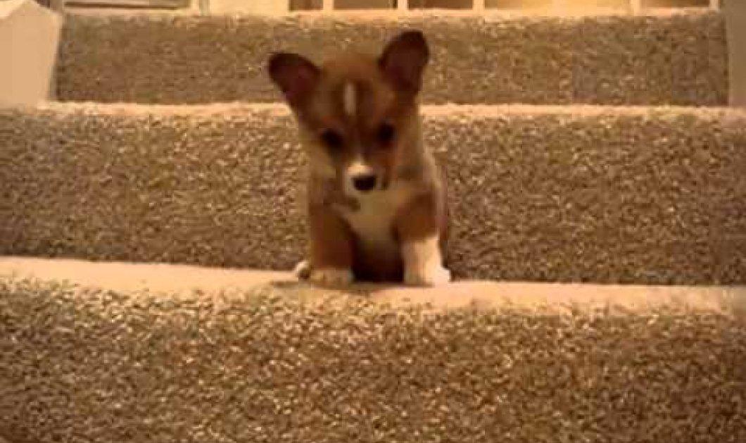 Μια υπέροχη συλλογή για ζωόφιλους: Κουτάβια μαθαίνουν να ανεβαίνουν σκαλιά! - Κυρίως Φωτογραφία - Gallery - Video
