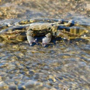 Ενα καβουράκι απολαμβάνει την δροσιά σε παραλία της Αρβανιτιάς στο Ναύπλιο - Φωτογραφία: ΑΠΕ-ΜΠΕ/ΜΠΟΥΓΙΩΤΗΣ ΕΥΑΓΓΕΛΟΣ - Κυρίως Φωτογραφία - Gallery - Video