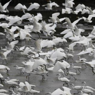 Ερωδιοί πετούν σε λίμνη στην περιοχή Noveleta στις Φιλιππίνες- Picture: EPA / FRANCIS R. MALASIG  - Κυρίως Φωτογραφία - Gallery - Video