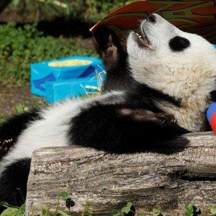 Πάρτι στο ζωολογικό πάρκο Schoenbrunn Zoo στη Βιέννη για τα πρώτα γενέθλια του πάντα, Fu Ban - Φωτογραφία: REUTERS / HEINZ-PETER BADER - Κυρίως Φωτογραφία - Gallery - Video